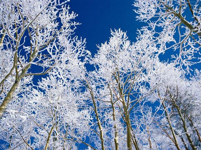 Winter wallpaper snowy trees