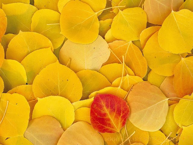 Aspen leaves california nature wallpaper