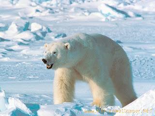 Gambar Beruang Kutup Putih