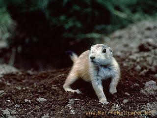 Gambar anjing prairie