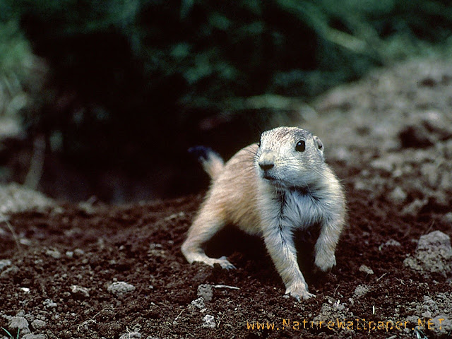 Prairie dog animal wallpaper