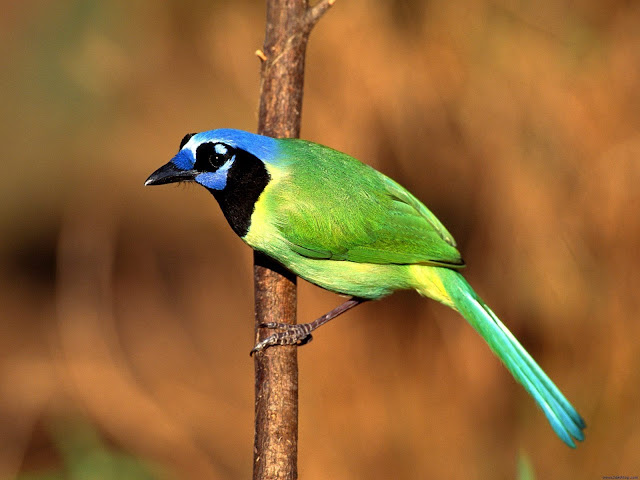 Green Jay Bird Animal wallpaper