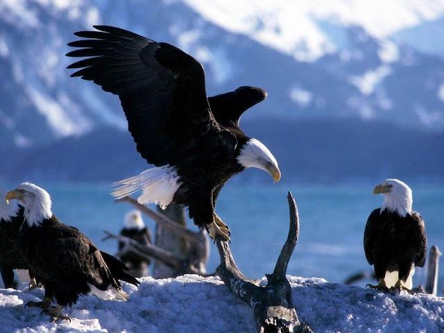 Landing Eagle Animal Wallpaper