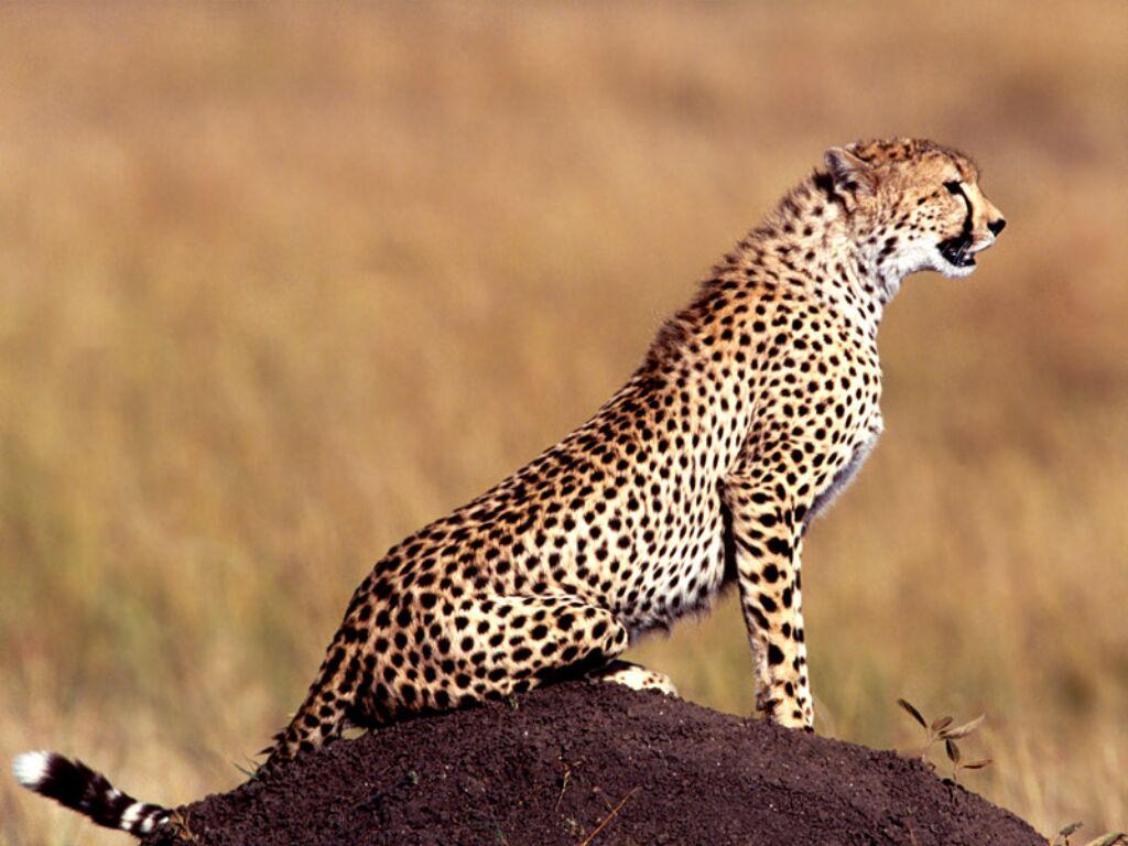 posture cheetah animal wallpaper urban art wallpaper