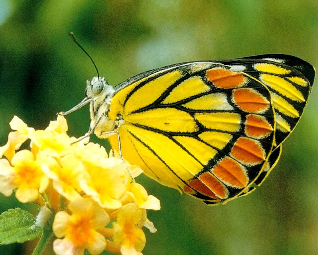 Yellow Butterfly Feeding On Nectar Wallpaper