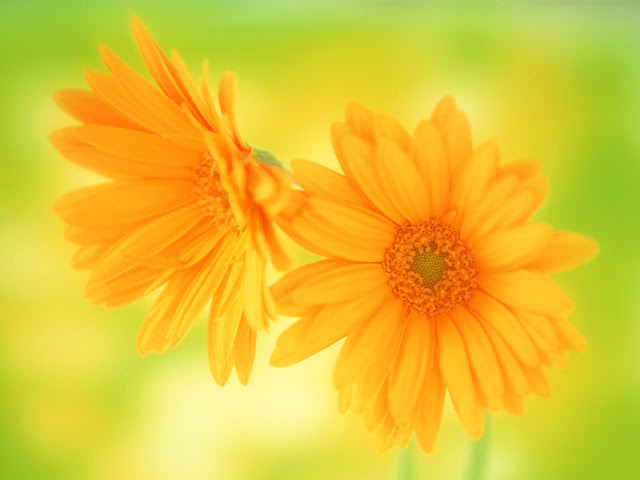 Yellow Daisy Beautiful Flowers Wallpaper