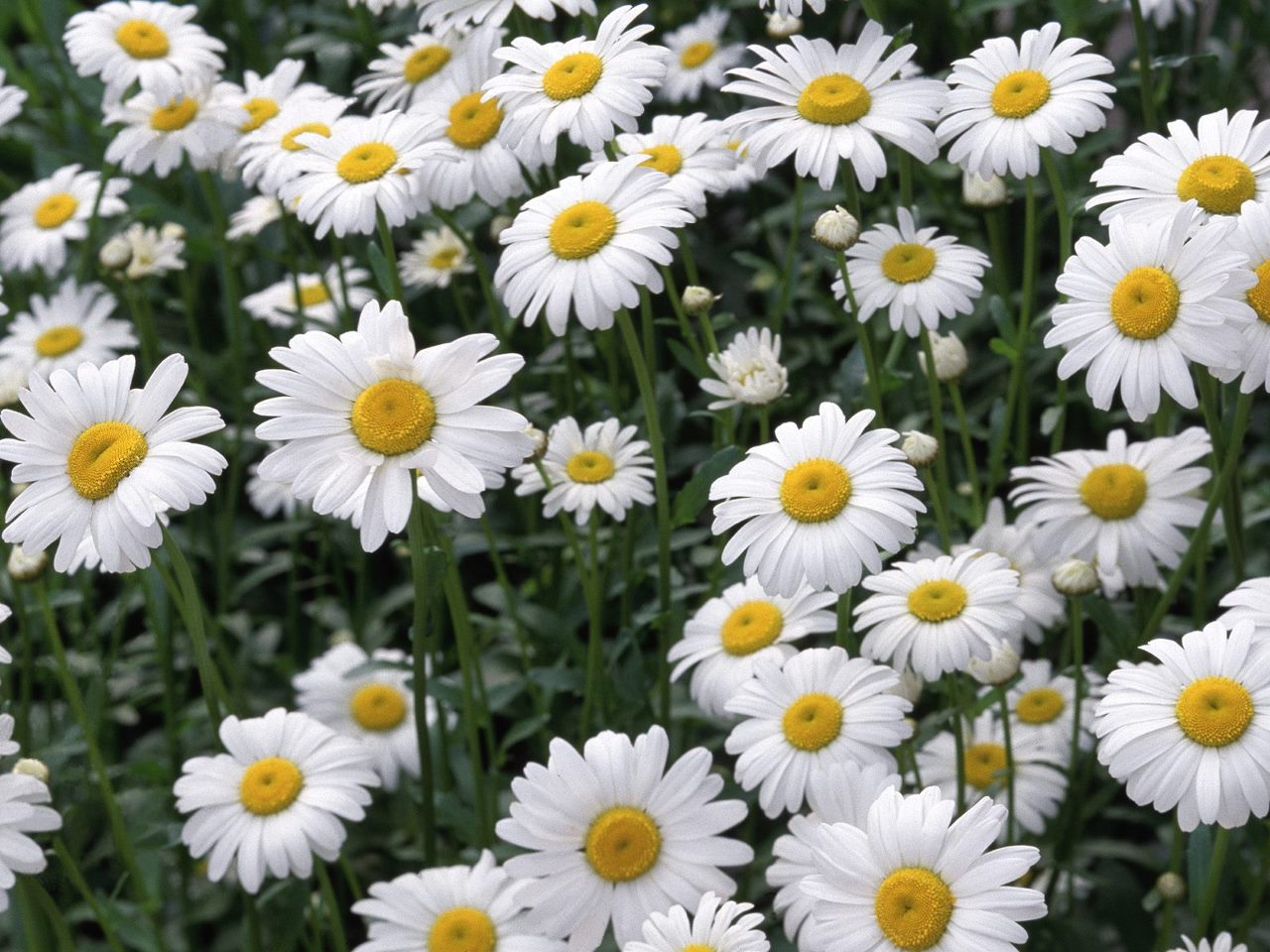 Beautiful White Daisy Flowers Wallpaper