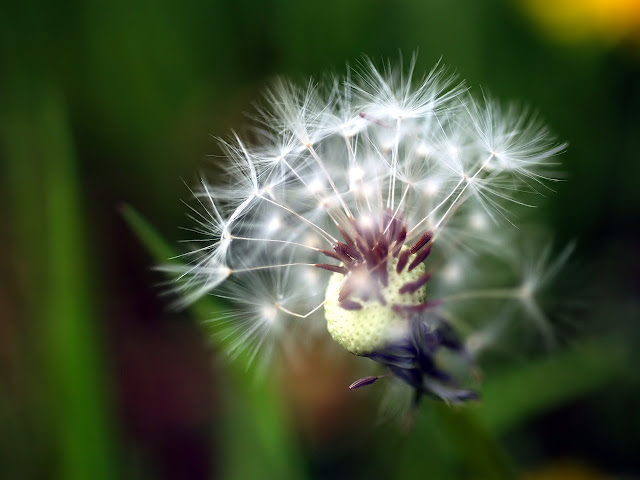 Close Up Dandelions Flower Flower Wallpaper