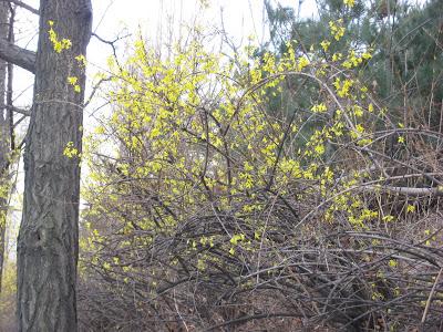 kaenari blossoms