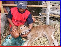 sapi berkepala 2 untuk blog kampanye damai pemilu indonesia 2009nya eRos