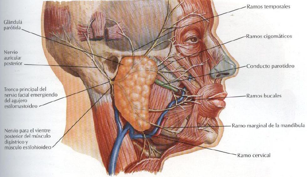 ODONTOLOGIA/ESTOMATOLOGIA: distribucion del nervio facial