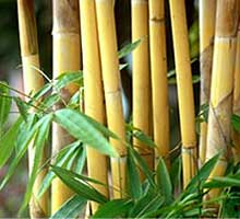 Massage Bamboo