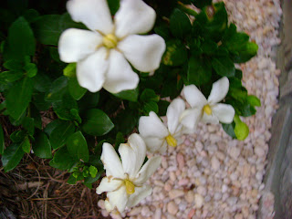Garden view gardenia jasminoides kleims hardy white fowers w 6 white flowers are single form with six petals and yellow stamens fragrance is classic gardenia leaves are dark green glossy and evergreen mightylinksfo