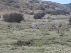 CAIQUENES (gansos silvestres)