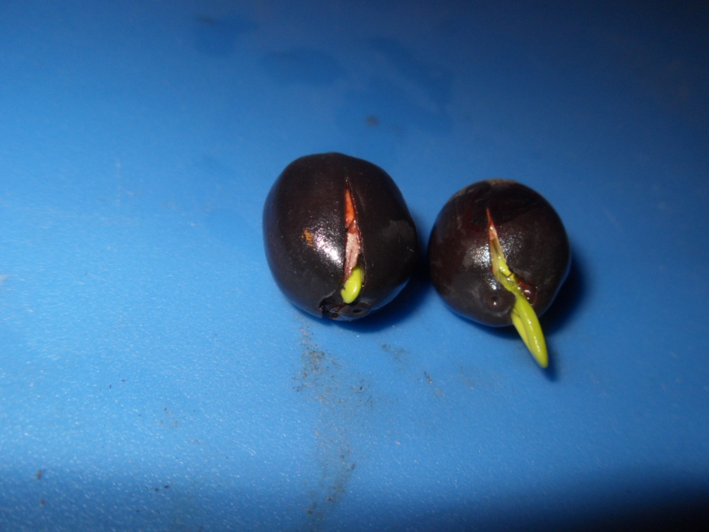 World seed cultivation database how to germinate lotus flower when the lotus seeds finally sprout they will split open and a stem will pop out the lotus is unique in the sense because most seeds will sprout with a izmirmasajfo