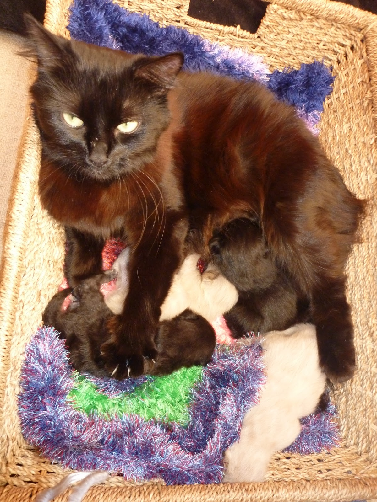 Displaying 18> Images For - Cat Giving Birth Kitten Stuck...