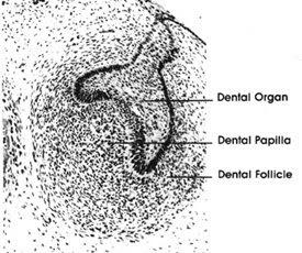 Inner Enamel Epithelium | RM.