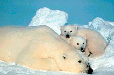 http://4.bp.blogspot.com/_ufF-qGVhhaw/R34qE34wGOI/AAAAAAAAADo/R0VsWFziQ6k/s400/polar_bear1.jpg