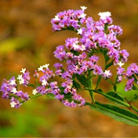 Сухите цветя  Limonium_thumb
