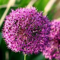 Сухите цветя  Allium_thumb