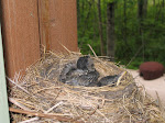 Who taught this momma to make this nest?