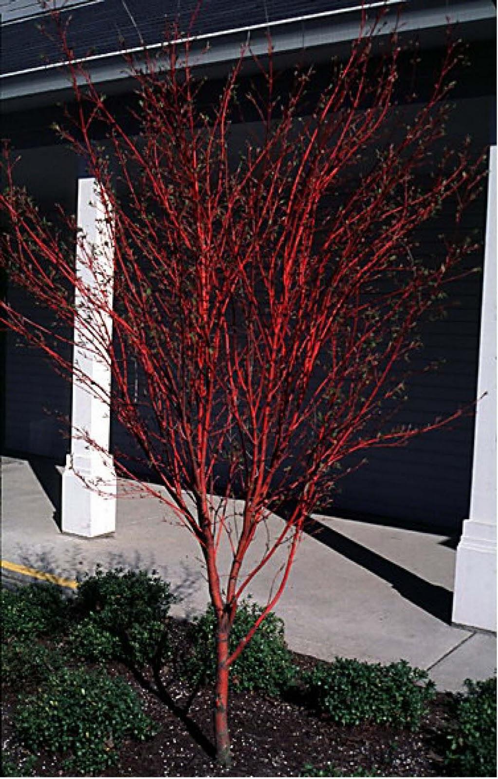 Acer Palmatum Sango Kaku Deciduous Tree Of The Day
