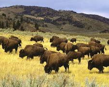 Bisontes norte-americanos