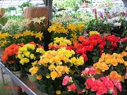 Fiori in serra (fiori)
