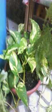 Plantas da Mariza Maravilha