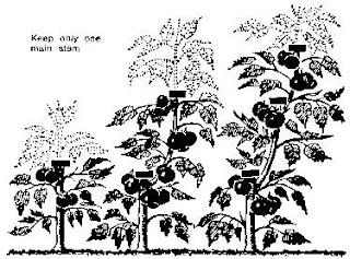 Imparare dagli errori cimare i pomodori for Cimatura pomodori