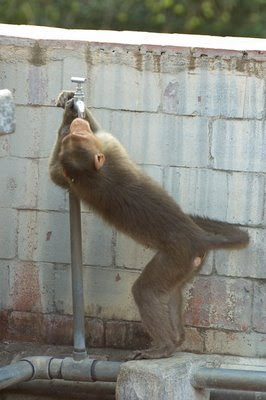 free downloading pics of bonnent monkey wiki
