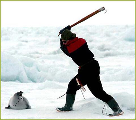 Cacería de focas