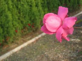 Jesenja ruža