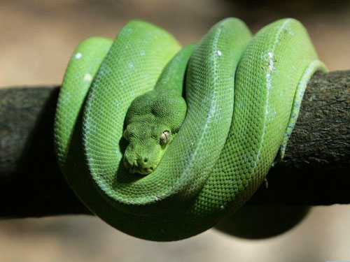 Serpente che ha freddo