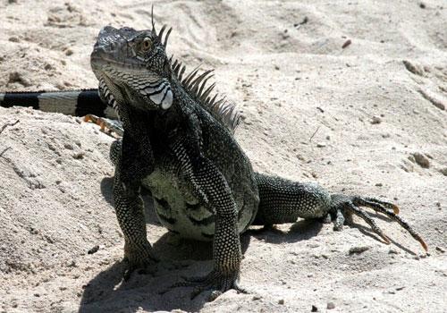Le flessioni dell'iguana