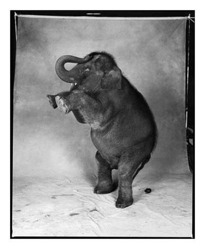Vecchio elefante che non ne può più di posare