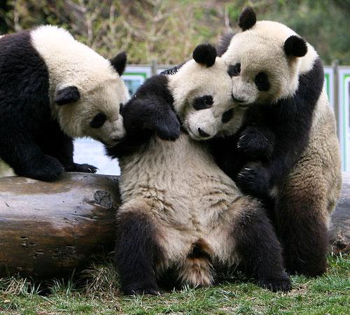 Panda ubriaco