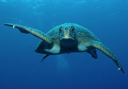 Tartaruga vigilantes che vi intima di allontanarvi