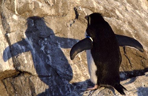Pinguino allo specchio