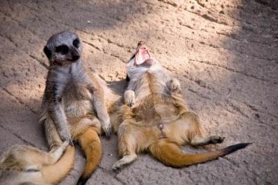 A questi suricati hanno detto qualcosa. Cosa?