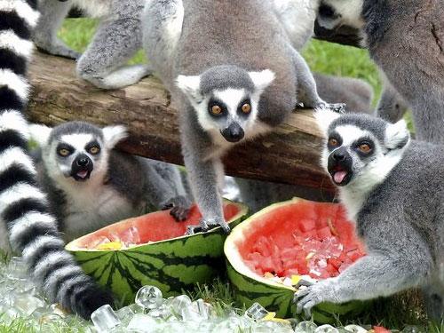 Lemuri incapaci di controllarsi