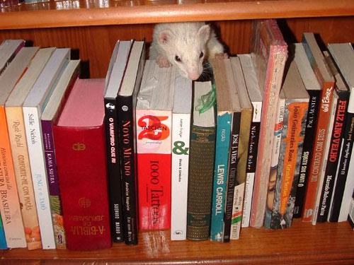 Topo di biblioteca che ha trovato un libro fuori posto