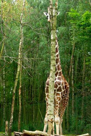 Giraffa che tenta di nascondersi