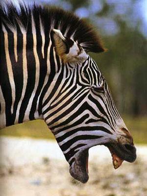 Questa zebra piange. Perché?