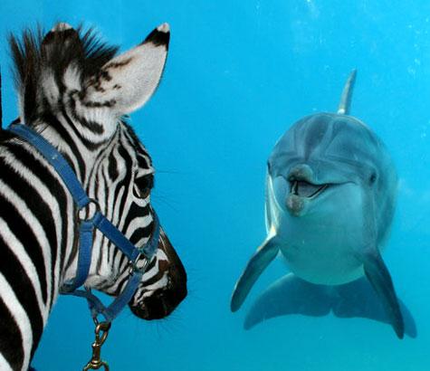 Zebra che deve comunicare una brutta notizia