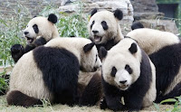 Giant pandas in Beijing Zoo.