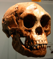 Homo floresiensis skull.
