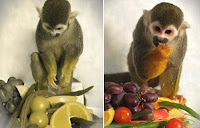 Here is one of the squirrel monkeys, Dalton, who was treated for red-green colour blindness enjoying a feast of coloured fruits and vegetables. The image on the left was digitally altered to simulate what the scene would look like to a person (or monkey) with red-green colour blindness. Credit: Neitz Lab, Washington University.