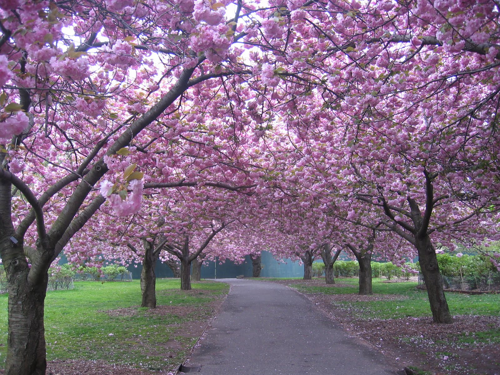 90th And Ko Cherry Blossoms Brooklyn Botanical Garden