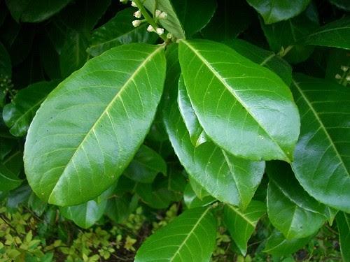 Plantas curativas y medicinales el laurel planta curativa for Tipos de hierbas medicinales